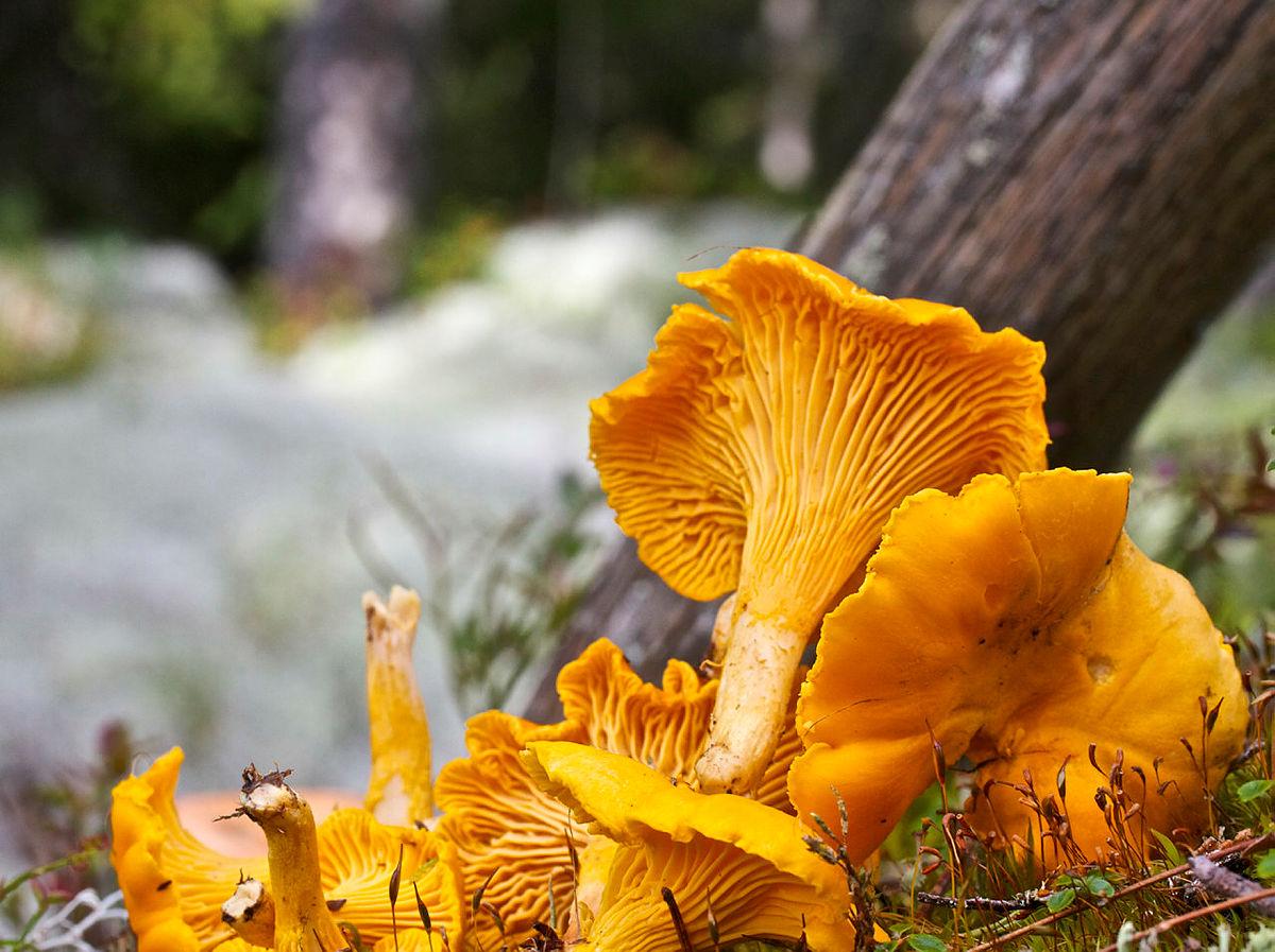Skogens gull er lett å kjenne igjen og trives godt på godt brukte stier.