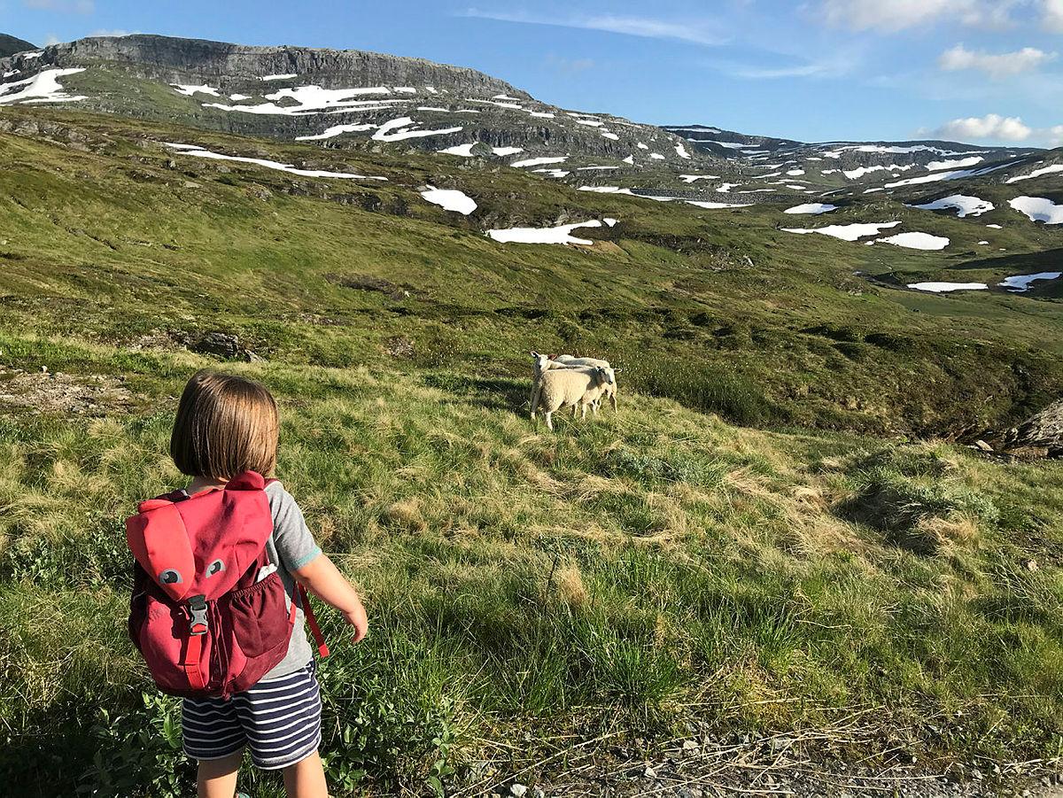 FRITTGÅENDE: Sauer på sommerbeite langt til fjells gir en unik kombinasjon av fett og muskler i kjøttet og tar vare på kulturlandskapet. Her ved Kvilesteinsvatnet i Stølsheimen, på vei til Selhamar.