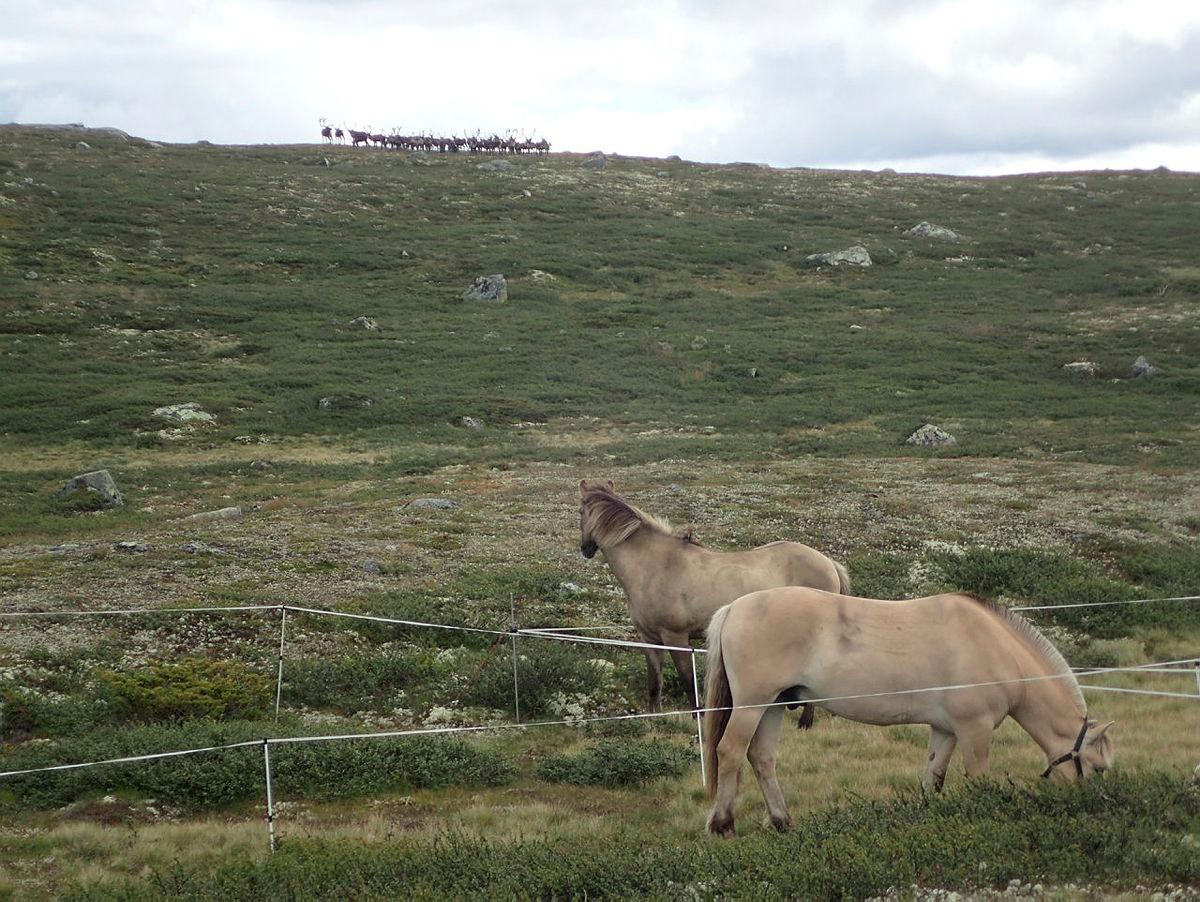 Hester og reinsdyr titter på hverandre