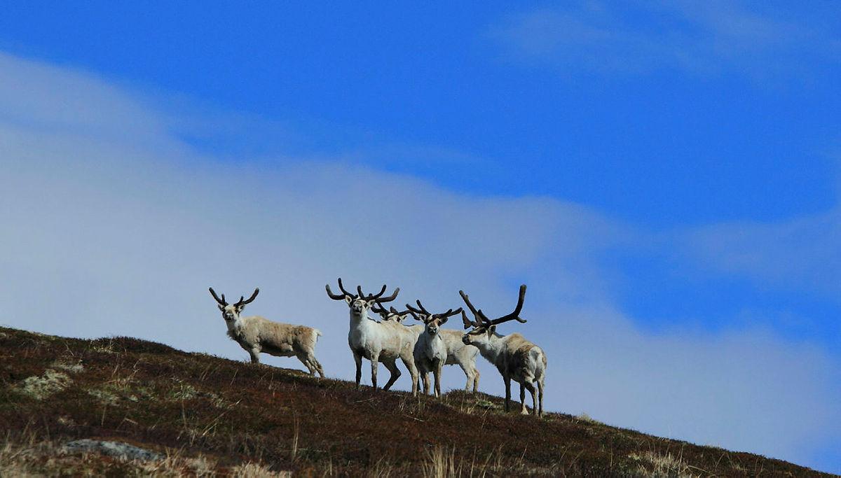 Områdene rundt Haukeliseter, med Hardangervidda i nord og Setesdal Ryfylke i sør-øst, er blant de største og fremste villreinområdene vi har i landet
