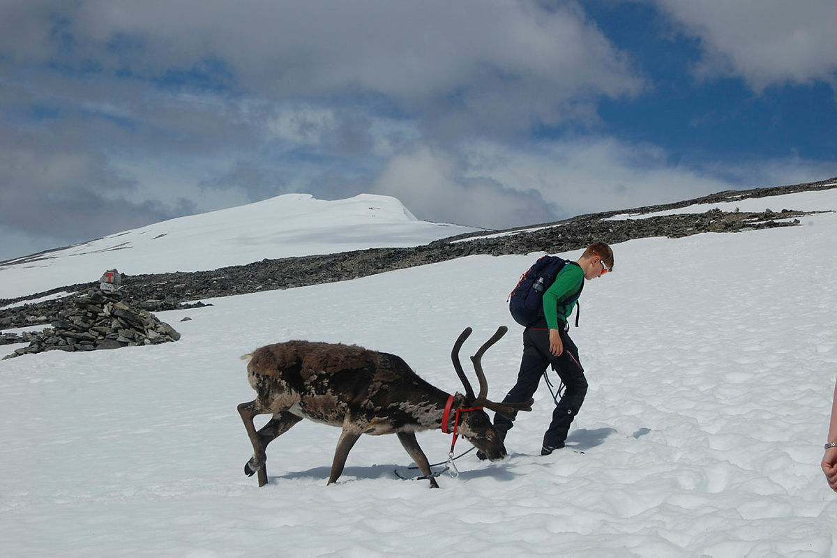 På tur til Glittertind sammen med reinsdyrene Iver og Nils.