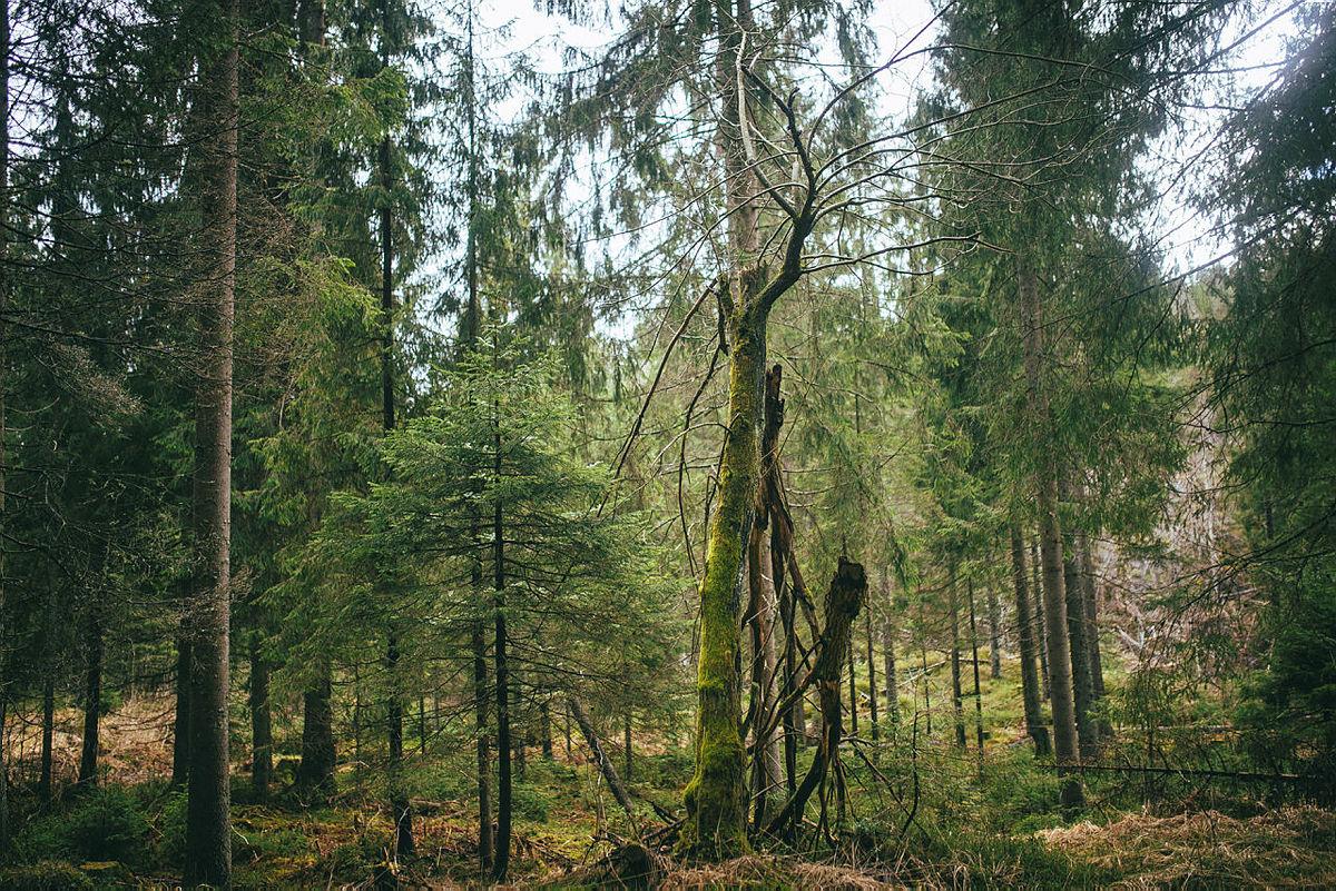 Trolsk skog på Mellomkollen.