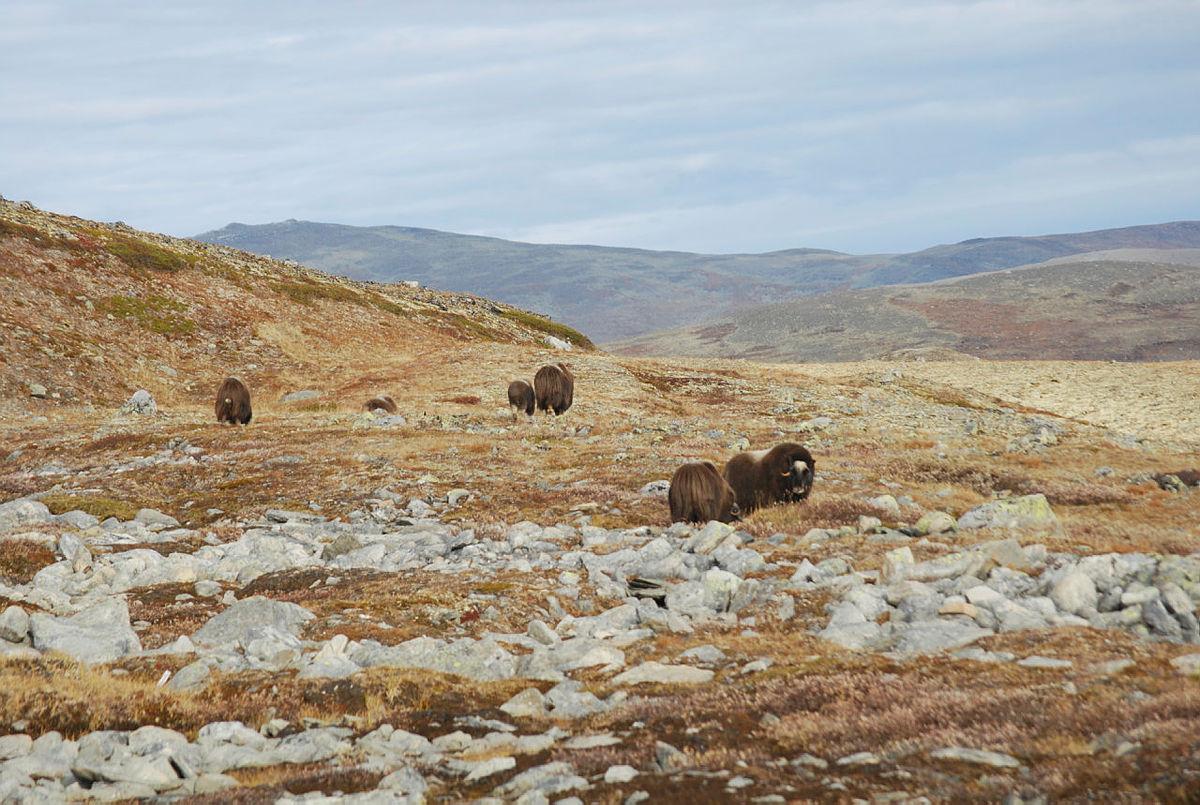 Besøk Dovre og Rondane i sommer!