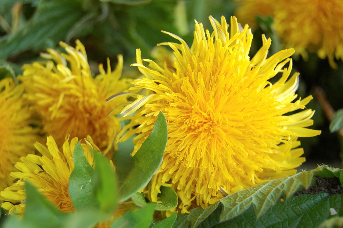 Brennesle og løvetann er delikatesser fra naturen.