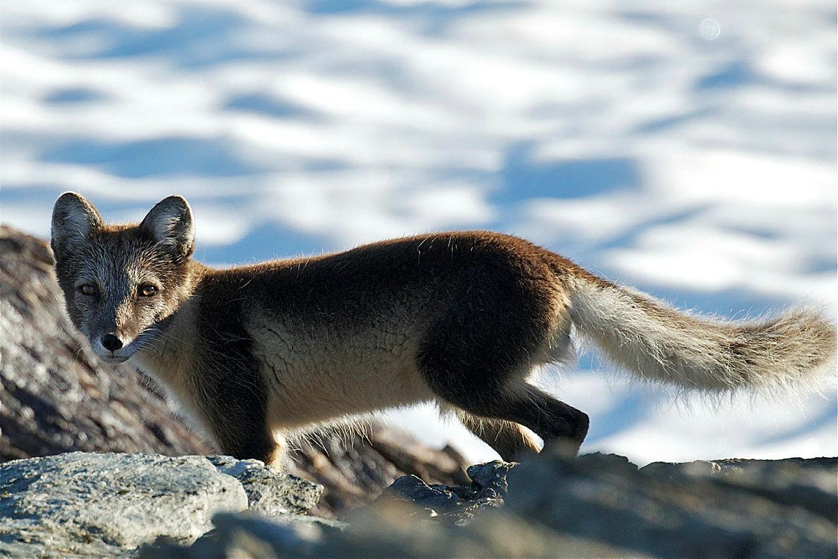 Fjellrev på Finse, en bestand som heldigvis har oppadgående kurve med god hjelp fra avlsprogrammet for fjellrev.