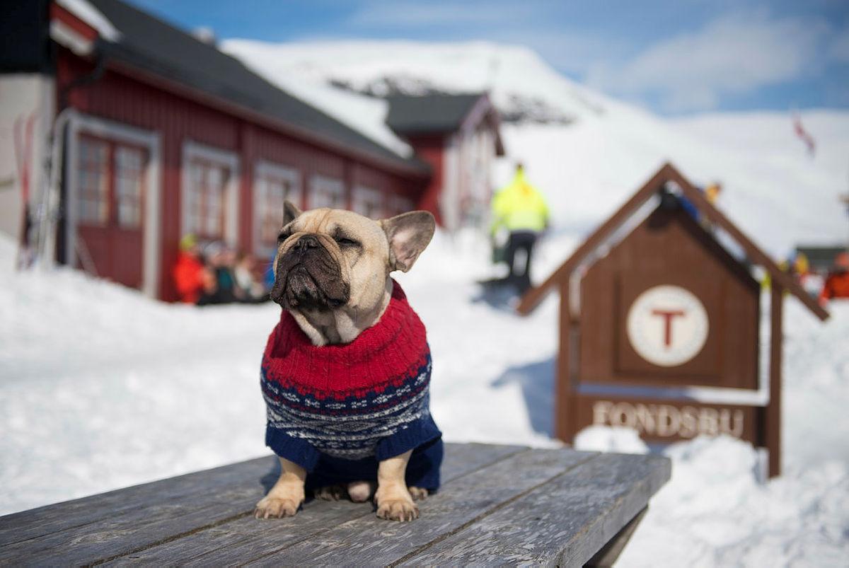 Påsken 2015 tok byhunden Einar the Frenchie turen til fjells for vise andre byhunder og - folk hvordan man enkelt kan forberede seg på en påske i fjellet.
