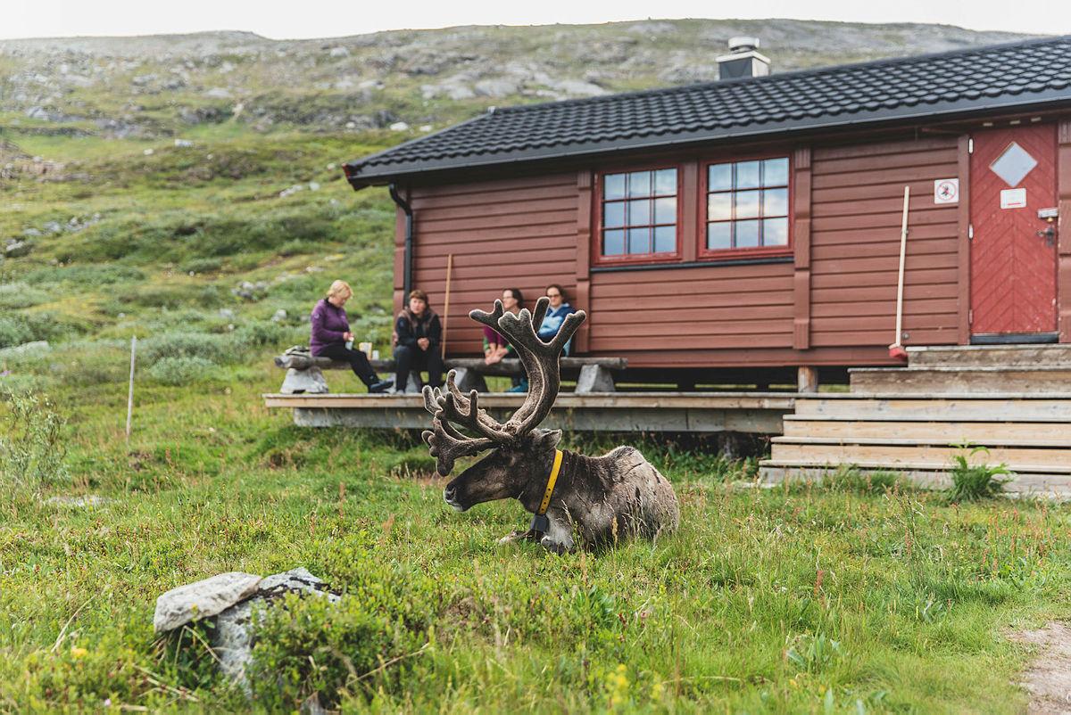 En tamrein på besøk ved Bjellåvasstua på Saltfjellet.