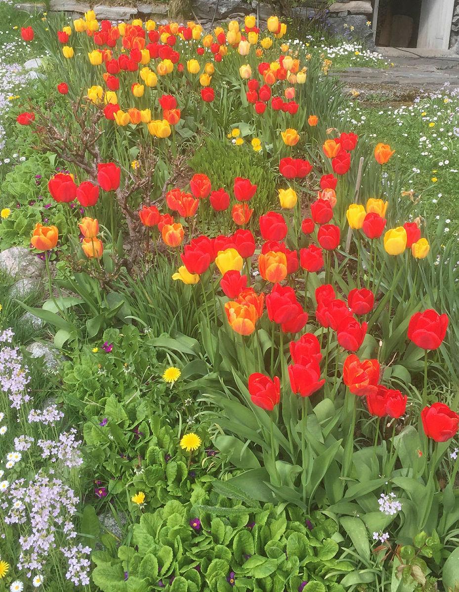 Tulipaner på Indre Fure.